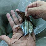 wild caught altum amazon angel fish