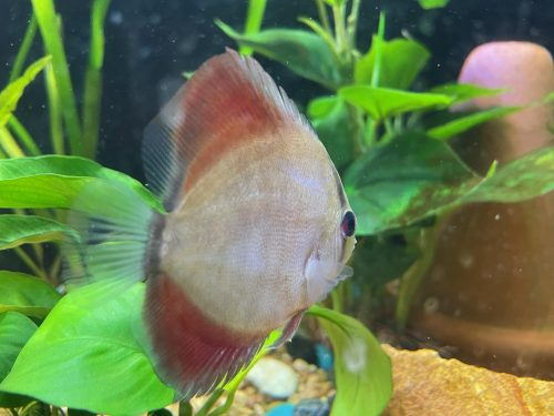 Blue-Faced Heckel Alenquer Cross Discus photo review