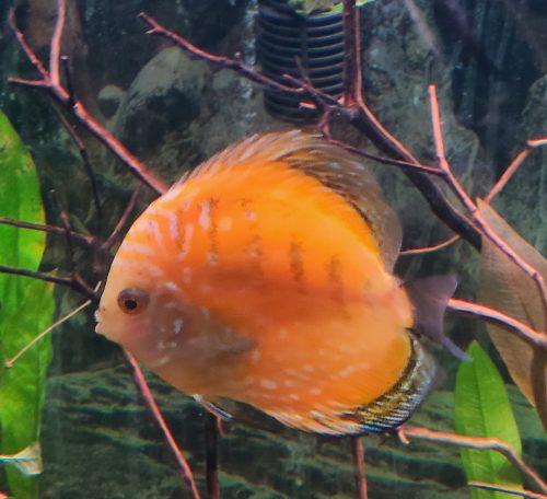 Yellow Rafflesia Discus photo review
