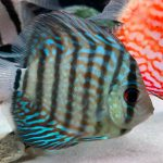 Brilliant Blue Turquoise Discus, Green Base photo review