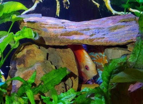 Marlboro Red Panda Discus photo review