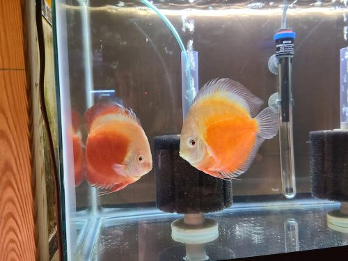 Valentine Discus, Proven Breeding Pair photo review