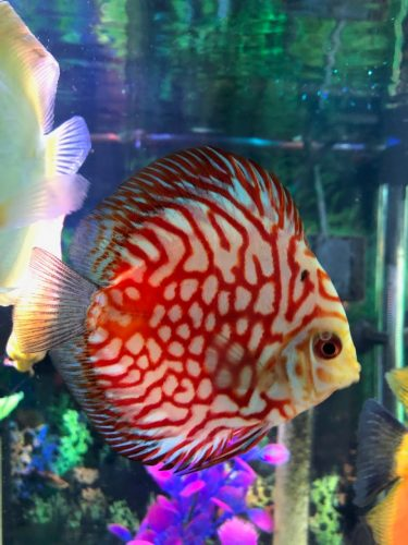 Red Eagle Discus, Wide Pattern photo review