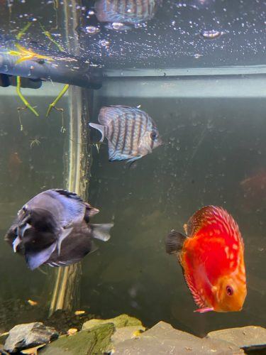 Cobalt Discus With Deep Blue Gene photo review