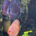 Turquoise Heckel Cross Discus photo review