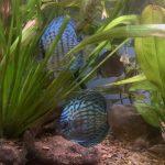 Altum Flora Discus, Blue Base photo review