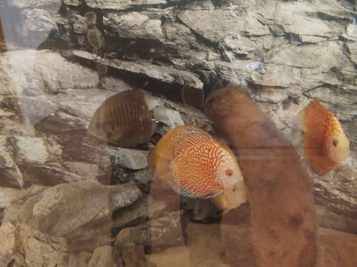 Golden Pigeon Leopard Discus, White Base photo review
