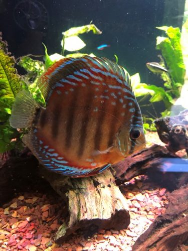 Red Blue Heckel Cross Discus photo review