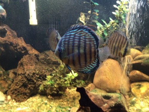 Wild-Caught Royal Blue Discus photo review