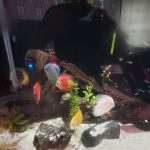 Golden Pigeon Discus photo review