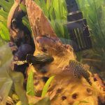 Gold Nugget Plecostomus photo review