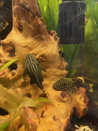 Royal Plecostomus photo review