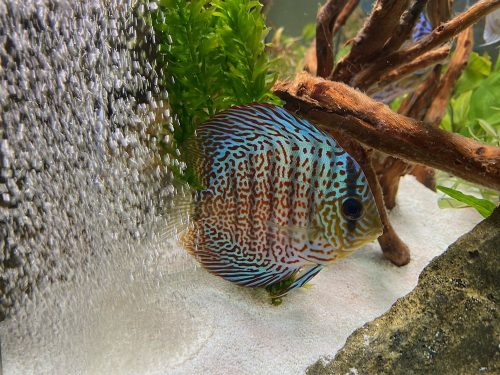 Classic Red Leopard Discus photo review