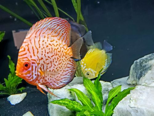 Silver Pigeon Leopard Discus photo review