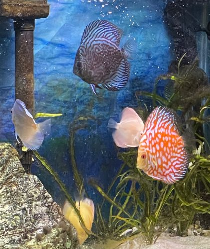 Red Eagle Discus, Honeycomb Pattern, Orange Base photo review