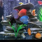 Red Eagle Discus, Clustered Pattern photo review