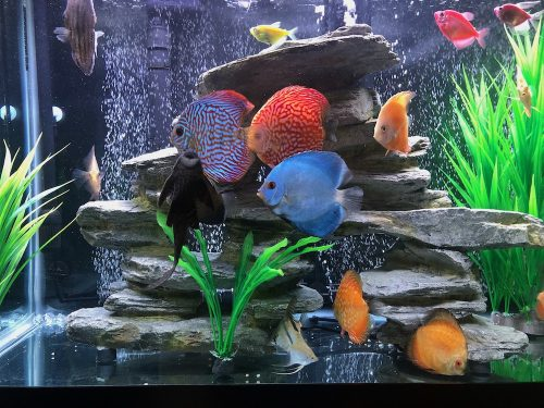 High Bodied Blue Diamond Discus With Deep Blue Gene photo review