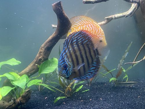 Green Alenquer Heckel Cross Discus photo review