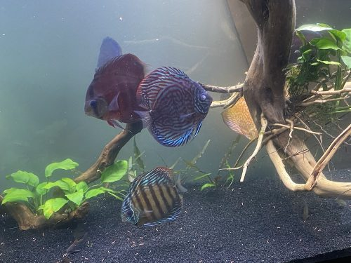 German Red Turquoise Discus, Blue Base photo review